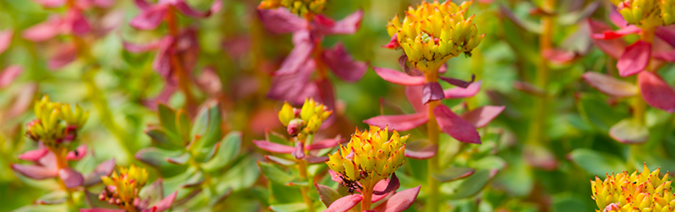 Rhodiola rosea summer day in the sun