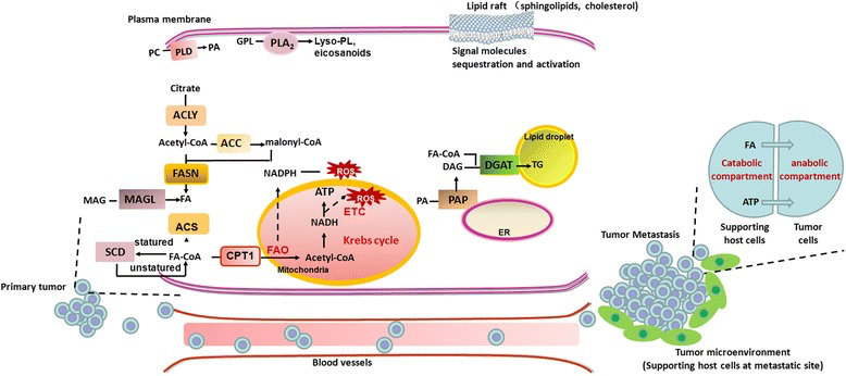 Schematic of Lipid Metabolism Implicated in Cancer Metastisis