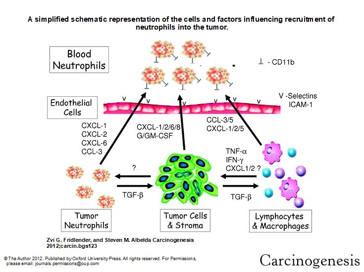Understanding Neutrophil to Lymphocyte Ratio: The Most
