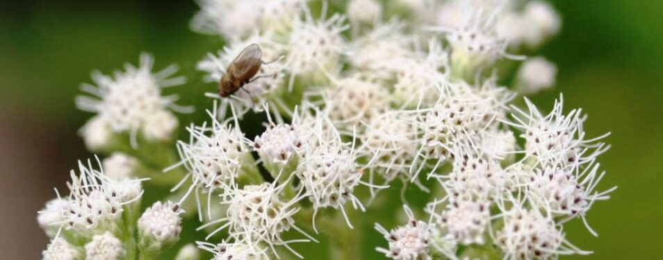 Boneset (Eupatorium Perfoliatum) Mo...